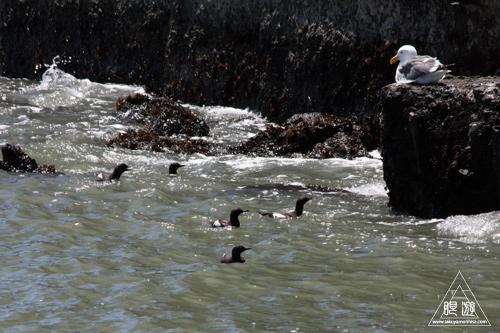 241 Alcatraz Island ~お目当ては野鳥~_c0211532_18233786.jpg