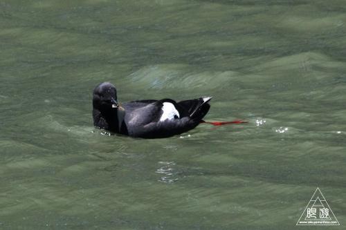 241 Alcatraz Island ~お目当ては野鳥~_c0211532_1824939.jpg