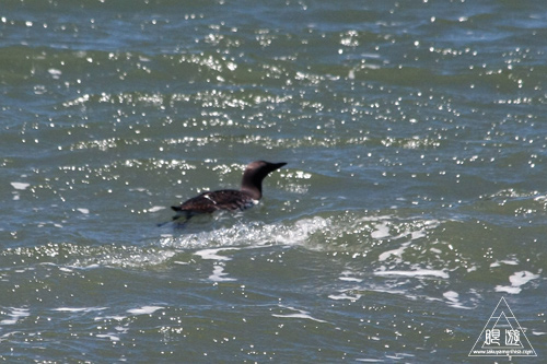241 Alcatraz Island ~お目当ては野鳥~_c0211532_18253764.jpg