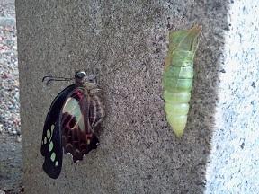 蝶の羽化_b0164894_711332.jpg