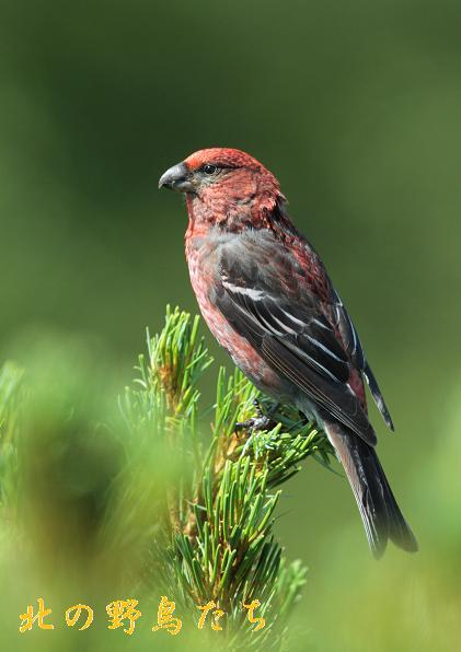 ギンザンマシコ : 北の野鳥たち
