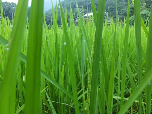 稲の実りの準備_d0251679_0374635.jpg