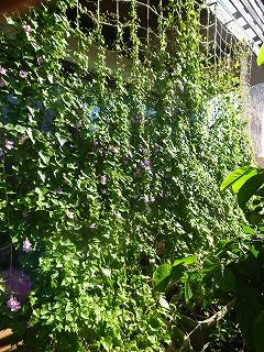緑のカーテン  今年は、ひょうたんとアサリナ_f0059988_1565846.jpg