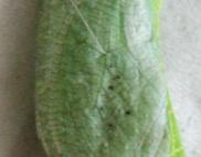 アゲハようちえん:アオムシコバチに寄生された蛹とふつうの蛹_b0087556_18532937.jpg