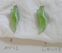 アゲハようちえん:アオムシコバチに寄生された蛹とふつうの蛹_b0087556_18542688.jpg