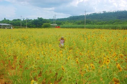 サジのひまわり畑、満開_e0131462_22175962.jpg