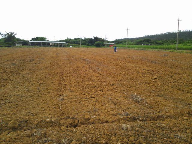 サジのひまわり畑、満開_e0131462_22223515.jpg