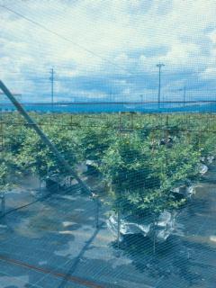 大粒のブルーベリー収穫とブルーベリーとアメリカンチェリーソースのバニラサンデー☆_e0159185_2384522.jpg