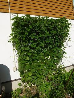 緑のカーテン  今年は、ひょうたんとアサリナ_f0059988_892118.jpg