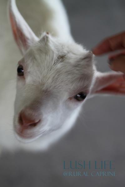可愛いヤギに会いに*ルーラルカプリ農場*_d0128712_6204124.jpg