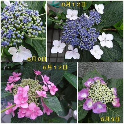 紫陽花の季節が終わり そして ふた七日がすぎました・・・・_a0084343_9391595.jpg