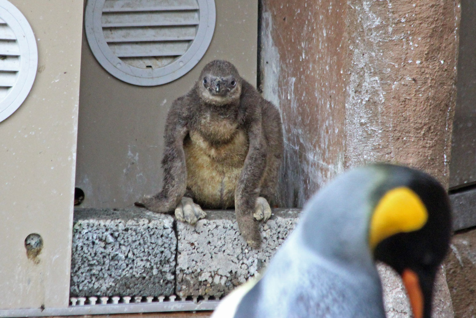 フンボルトペンギンの雛_d0227252_18353597.jpg