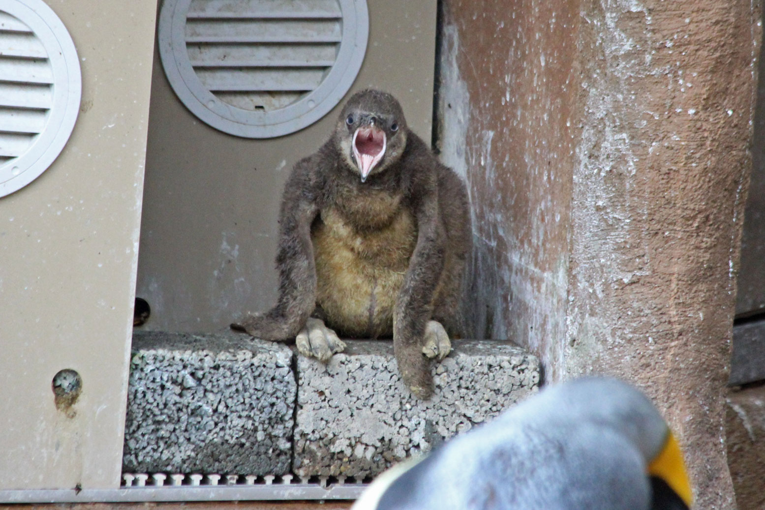 フンボルトペンギンの雛_d0227252_18371689.jpg
