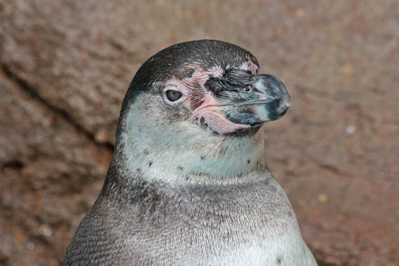 フンボルトペンギンの雛_d0227252_1840411.jpg