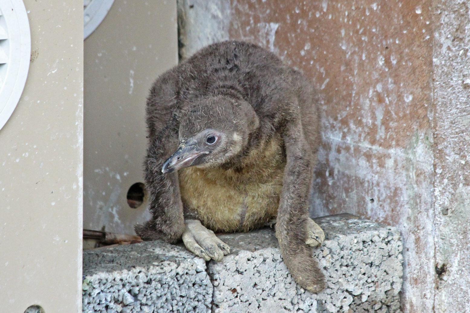 フンボルトペンギンの雛_d0227252_184171.jpg