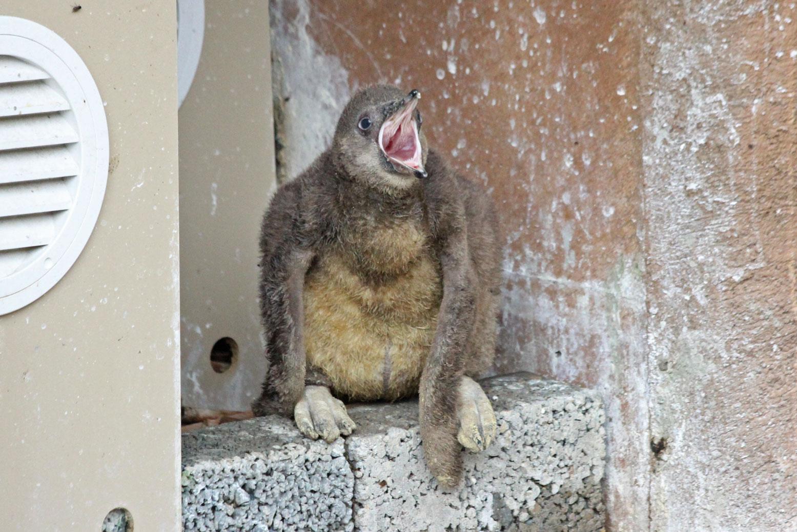 フンボルトペンギンの雛_d0227252_1845252.jpg