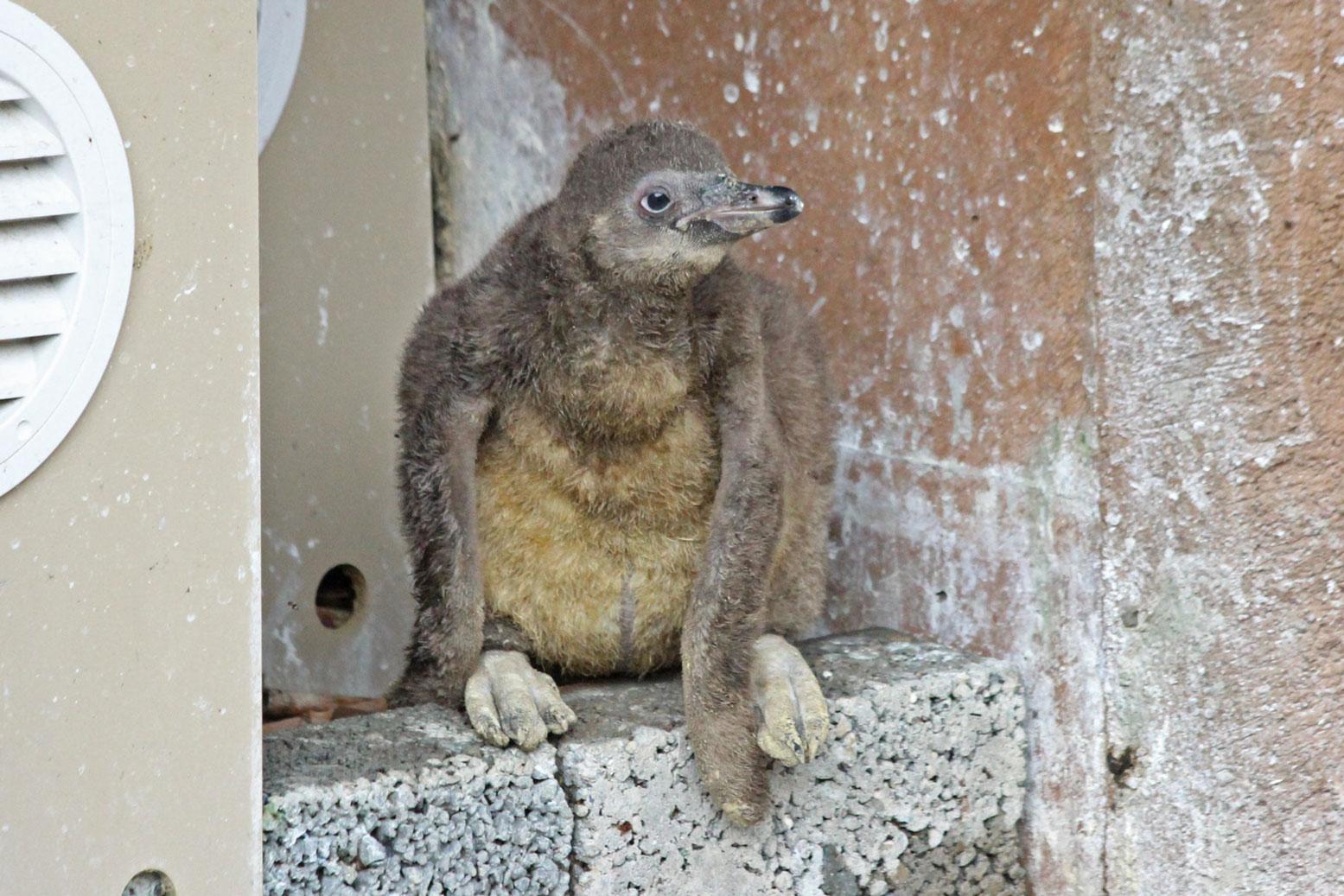 フンボルトペンギンの雛_d0227252_18471263.jpg