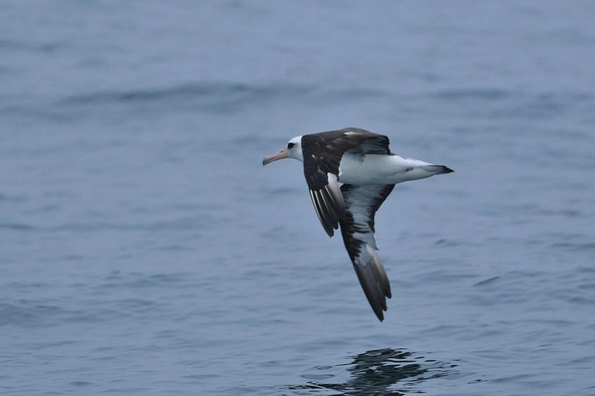 コアホウドリ(Laysan Albatross) ~2012.06_b0148352_9335628.jpg