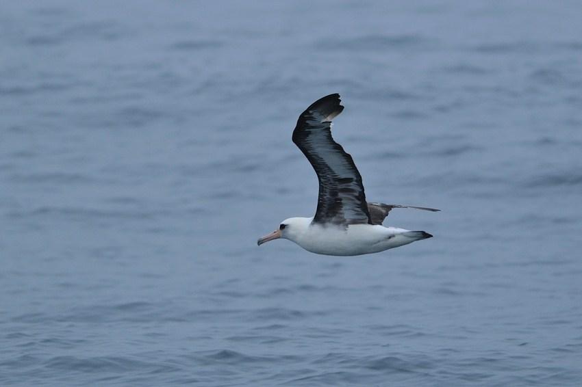 コアホウドリ(Laysan Albatross) ~2012.06_b0148352_934431.jpg