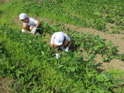 暑い中大豆の草取りです。_e0061225_17235579.jpg