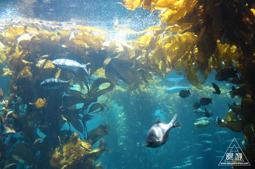 244 Monterey Bay Aquarium ~モントレーベイ水族館~_c0211532_18282836.jpg