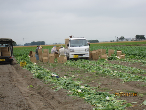 カブの収穫_f0231042_13285645.jpg