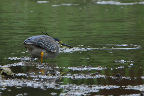 ★先週末の鳥類園(2012.7.14~16)_e0046474_16315391.jpg