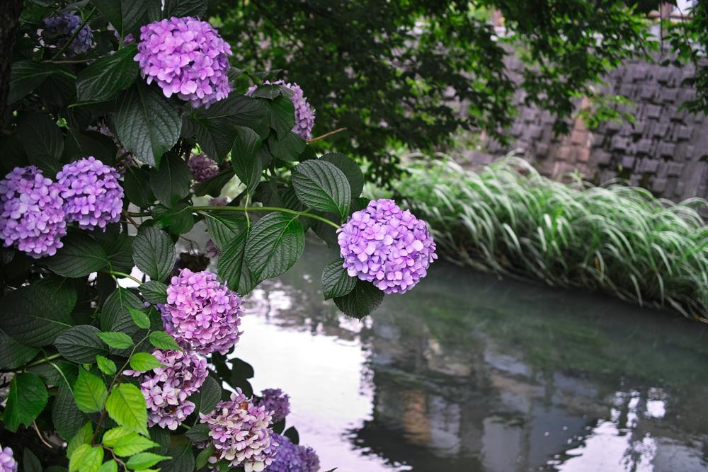 フィルムカメラで巡る坂川(後編) ペンタックスME-Super とシグマDP2xで_c0223825_2335291.jpg