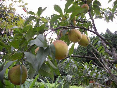 こぶしほどに実った私の大好きな桃が・・・・!_e0151349_15511170.jpg