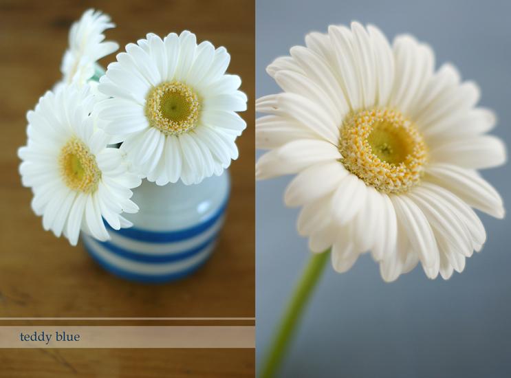 gerbera daisies  ガーベラ デイジー ベイビー_e0253364_10244969.jpg