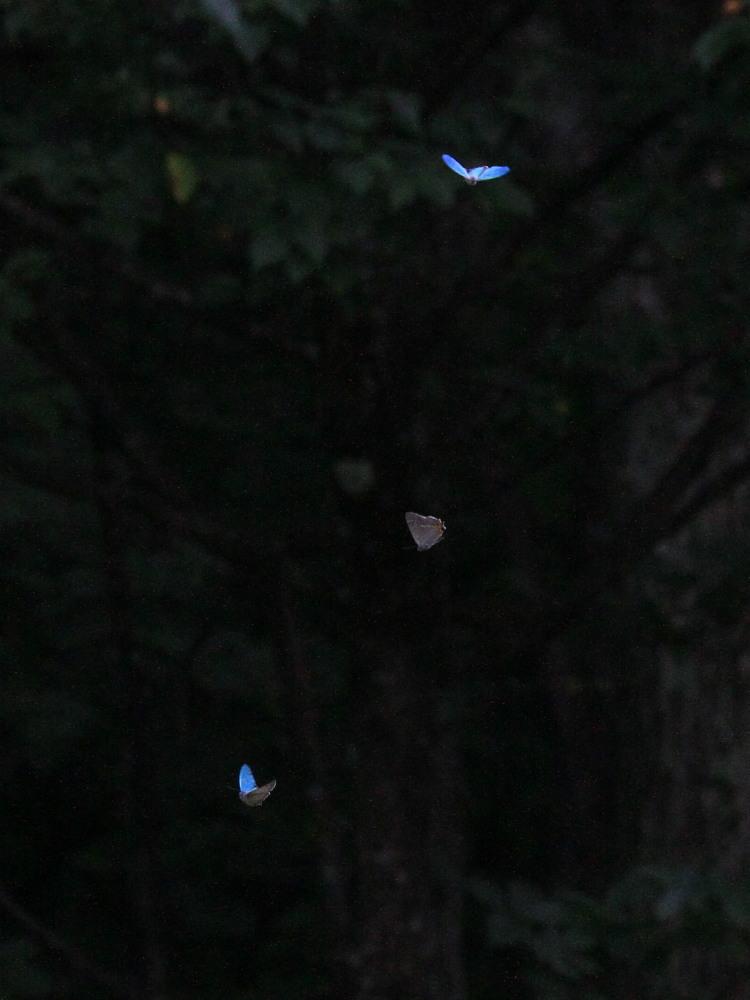 ジョウザンミドリシジミ  バトル飛翔  2012.7.17長野県③_a0146869_2461940.jpg