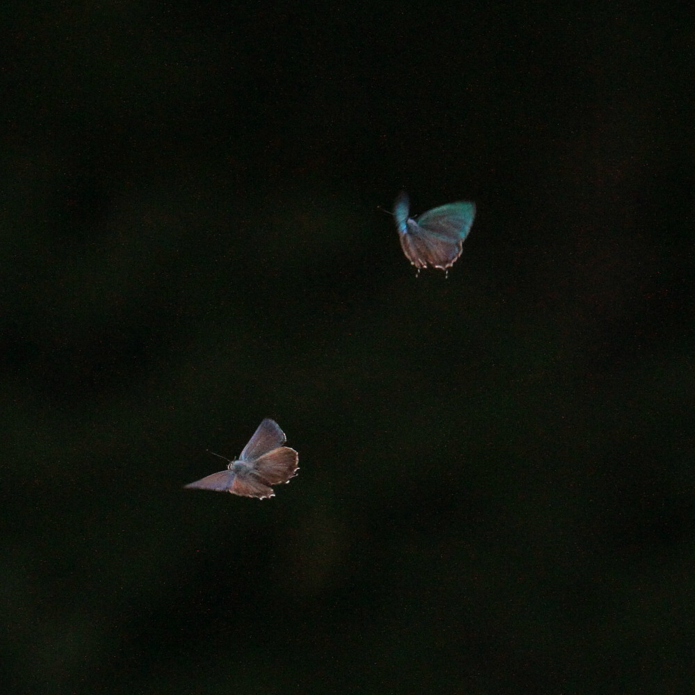 ジョウザンミドリシジミ  バトル飛翔  2012.7.17長野県③_a0146869_2512030.jpg