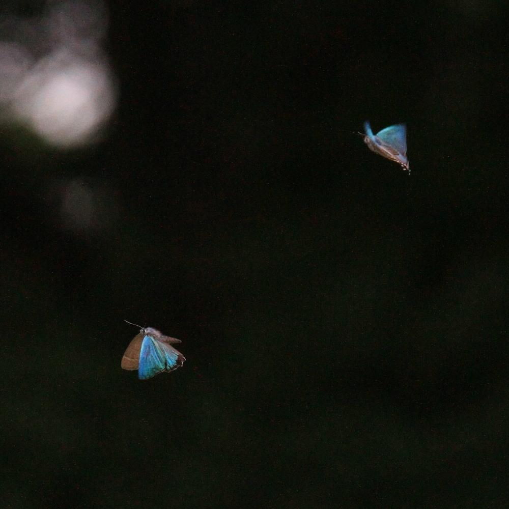 ジョウザンミドリシジミ  バトル飛翔  2012.7.17長野県③_a0146869_2522049.jpg