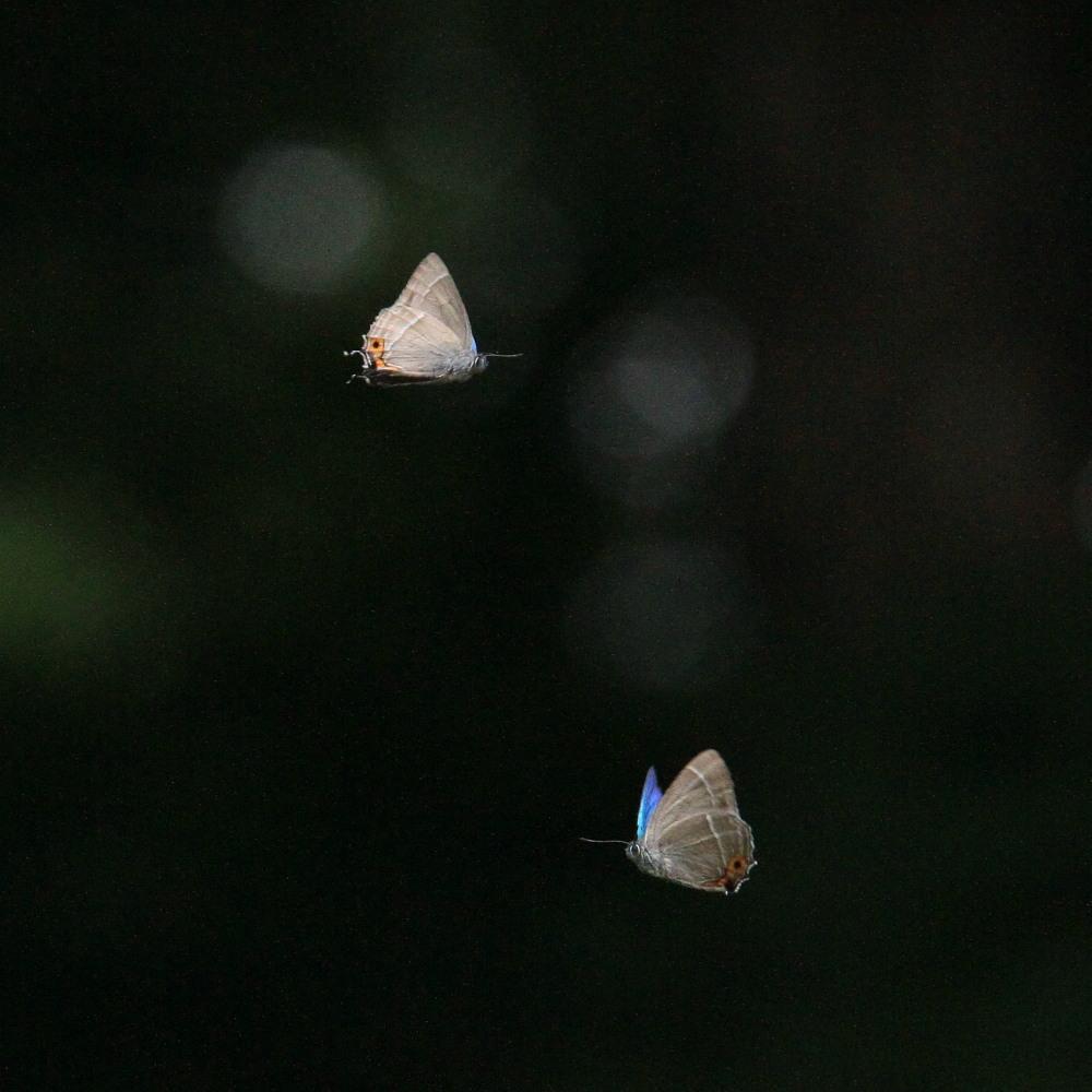 ジョウザンミドリシジミ  バトル飛翔  2012.7.17長野県③_a0146869_253225.jpg
