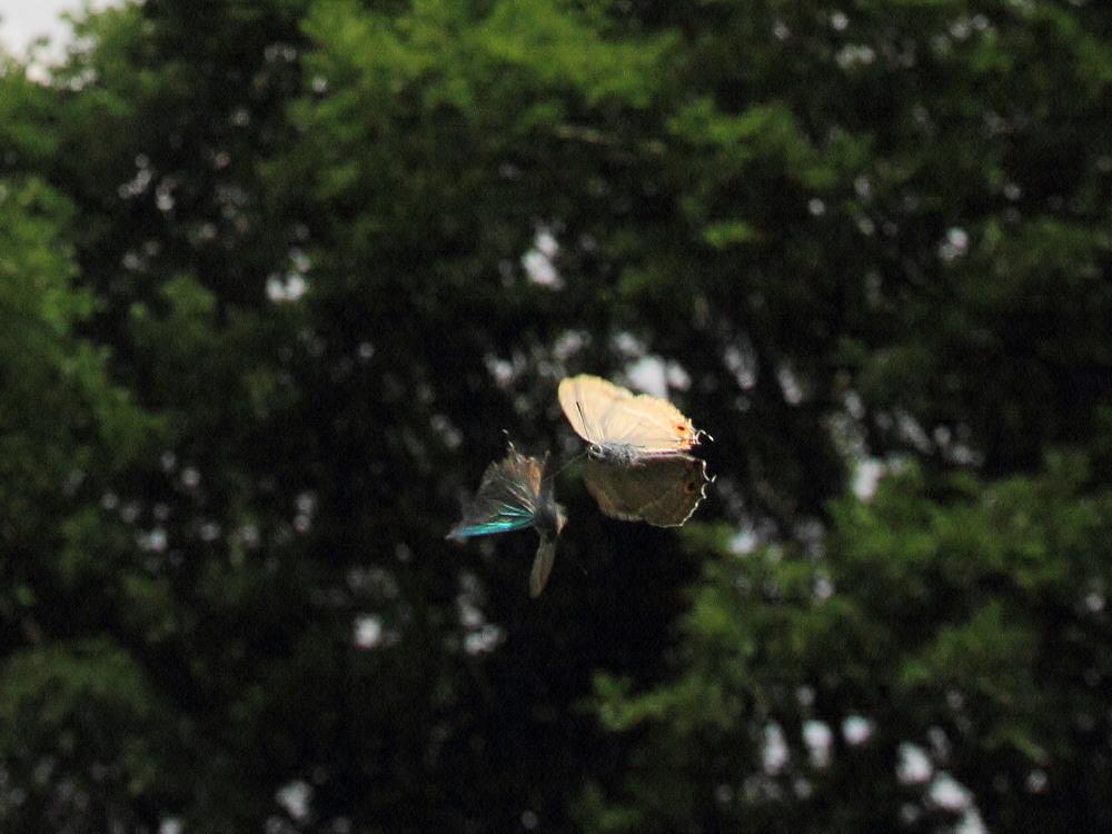 ジョウザンミドリシジミ  バトル飛翔  2012.7.17長野県③_a0146869_2555935.jpg