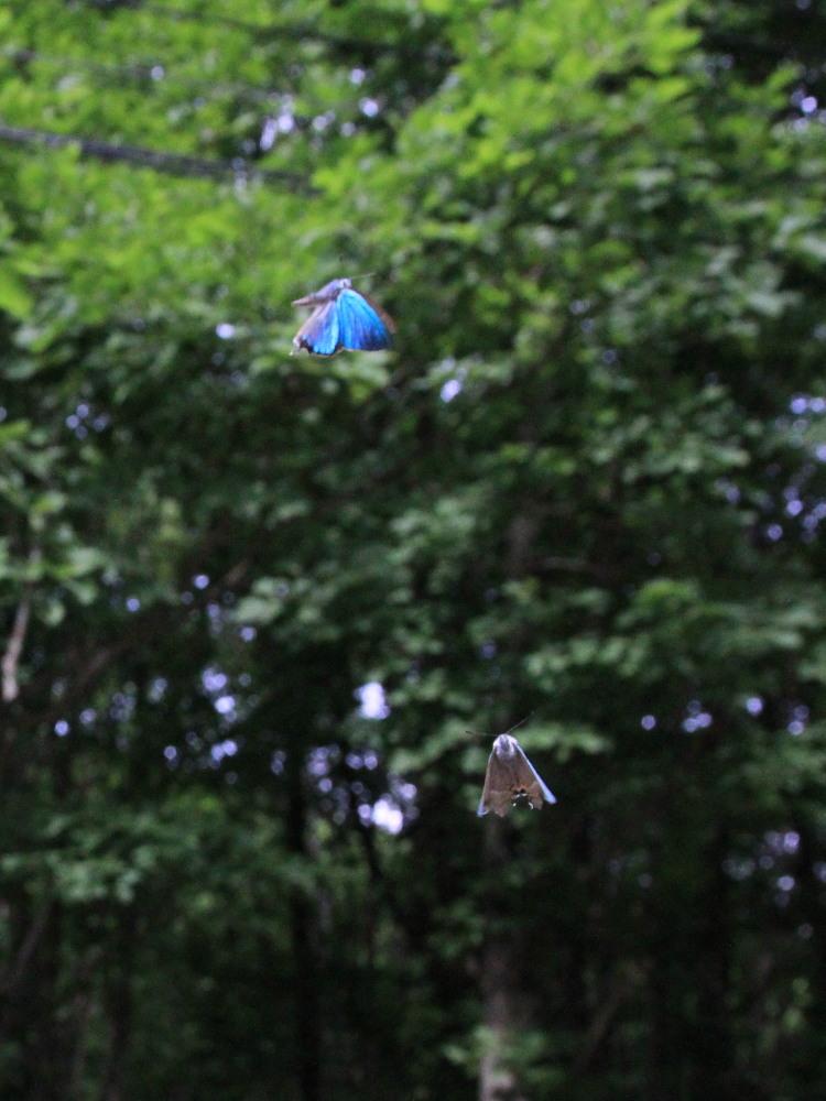 ジョウザンミドリシジミ  バトル飛翔  2012.7.17長野県③_a0146869_2561351.jpg
