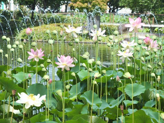 7月18日 府中郷土の森・修景池のハス(蓮)_e0145782_2036060.jpg
