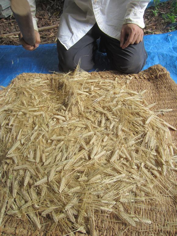 麦の脱穀_d0231263_2111163.jpg