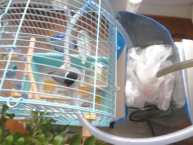 文鳥クーラー…愛する小鳥へのecoな暑さ対策。_d0063290_23163811.jpg