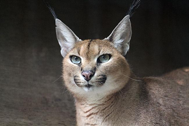 美猫カラカルの「コウ」ちゃん(メス)。 カラカル