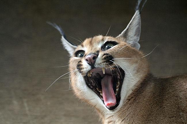 これはあくびですが・・・、「コウ」ちゃんは、カラカル舎の傍に人が来るとし... カラカル