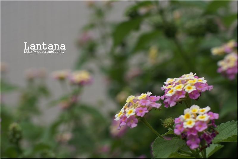 ランタナ_f0156117_6143748.jpg