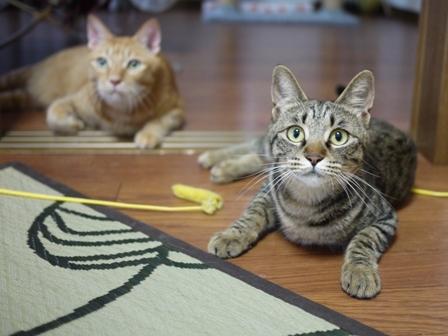 猫のお友だち ちゃーくんちょびくんペコちゃん編。_a0143140_19593069.jpg