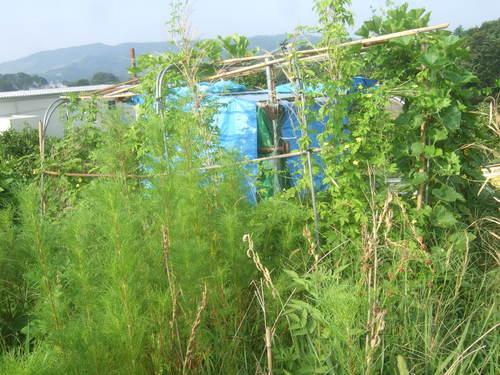 野菜畑は草原....ゴーヤも冬瓜も!_b0137932_2202565.jpg