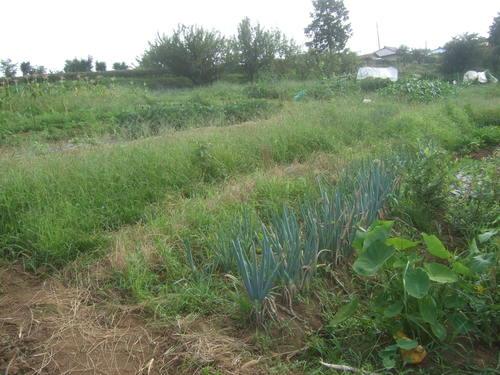 野菜畑は草原....ゴーヤも冬瓜も!_b0137932_220318.jpg