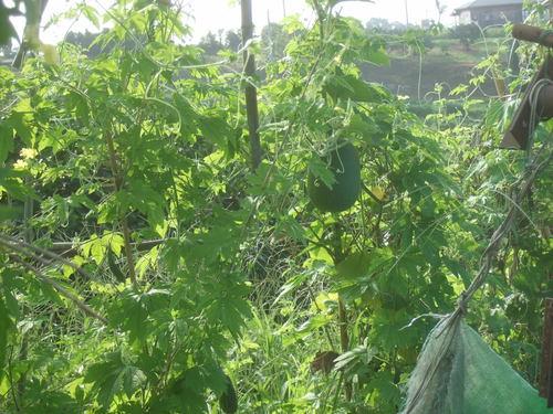 野菜畑は草原....ゴーヤも冬瓜も!_b0137932_2213071.jpg
