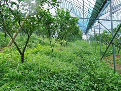 小春農園 デコポン(肥後ポン)の成長記録_a0254656_17241733.jpg