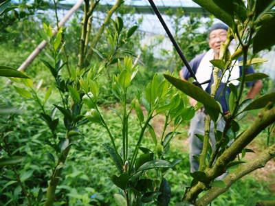 小春農園 デコポン(肥後ポン)の成長記録_a0254656_18165025.jpg