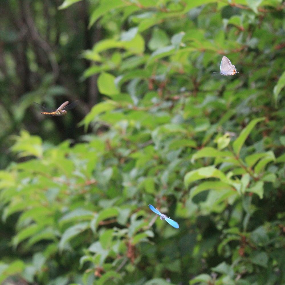 ジョウザンミドリシジミ  路上バトル  2012.7.22福島県③_a0146869_7195798.jpg