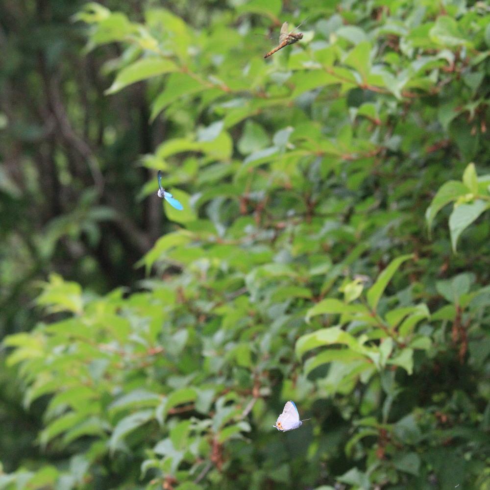 ジョウザンミドリシジミ  路上バトル  2012.7.22福島県③_a0146869_720529.jpg